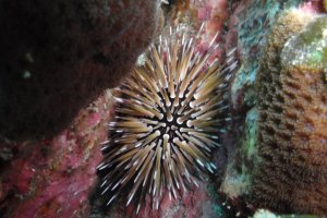 A type of sea urchin at 15m