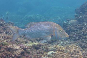 ปลากระพงยักษ์ที่เป็นมิตร ที่Yaene