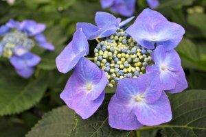 ดอกไฮเดรนเยียที่ดูเหมือนผ้าลูกไม้นี้มีชื่อว่า Seiyo Ajisai