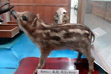 Детёныш кабана, экспонат с выставки естественной истории