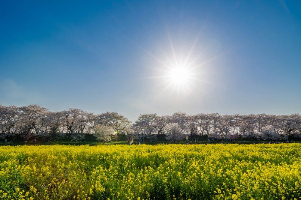 แสงอาทิตย์ส่องบนดอกเรพซีดและดอกซากุระที่งานเทศกาลดอกซากุระซัตเตะ