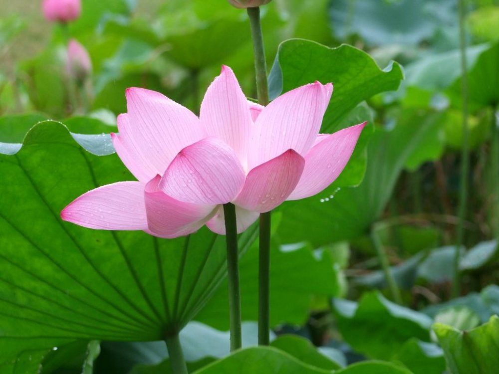 Japanese lotus leaves are large and soft
