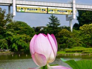 Цветок лотоса на фоне проезжающего монорельса