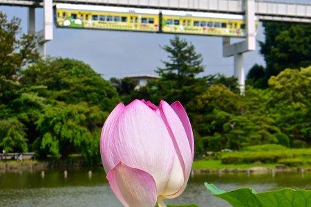 Цветение лотоса в Парке Чибы