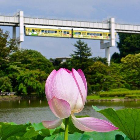 치바 공원의 연꽃