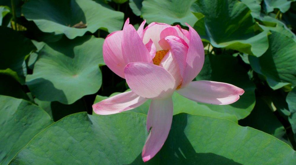 Цветок лотоса в полном цвете