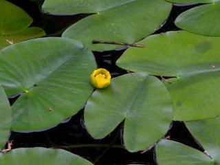 Cận cảnh hoa lily trồng trên nước