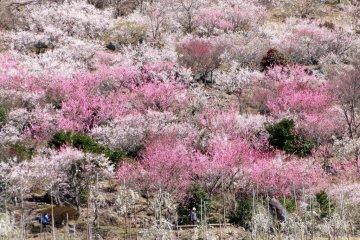 마쿠야마 공원의 매화꽃