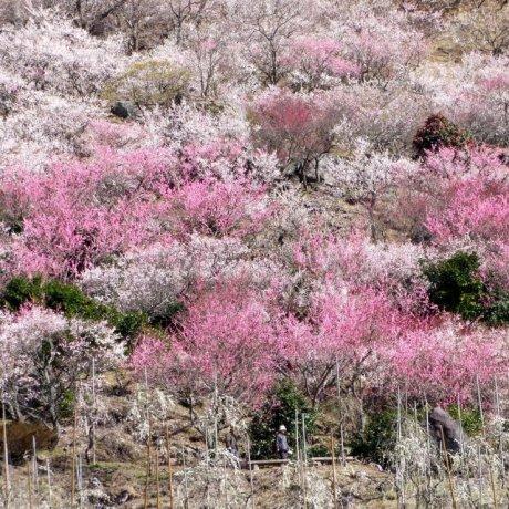 Makuyama Park's Plum Blossoms