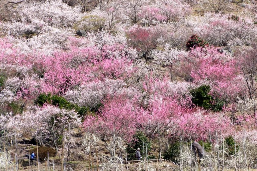 An entire mountainside covered with plum trees