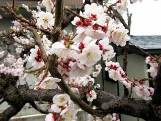 Sakura ở Yudanaka, Nagano