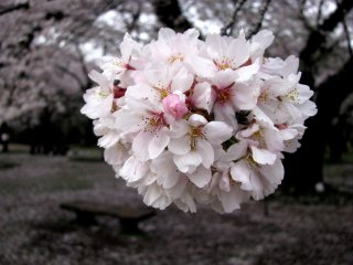 Quả Bóng Sakura