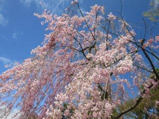 This type of sakura is my favorite