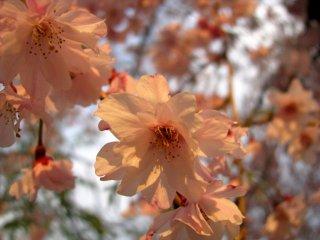 Sakura lúc hoàng hôn tại thành cổ Osaka