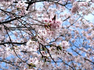 Sakura ở Hiroshima