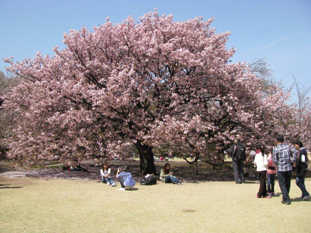 Sakura yang cantik adalah tempat yang paling digemari untuk mengambil foto!
