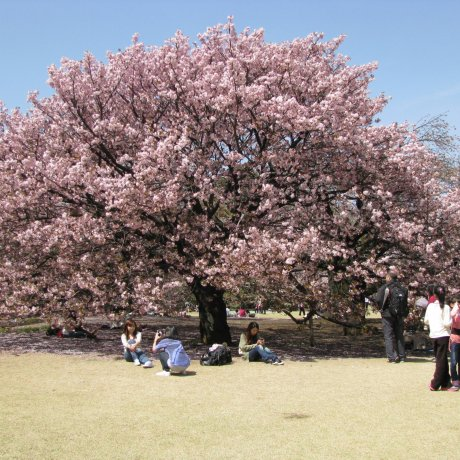 Ханами в парке Синдзюку Гёэн