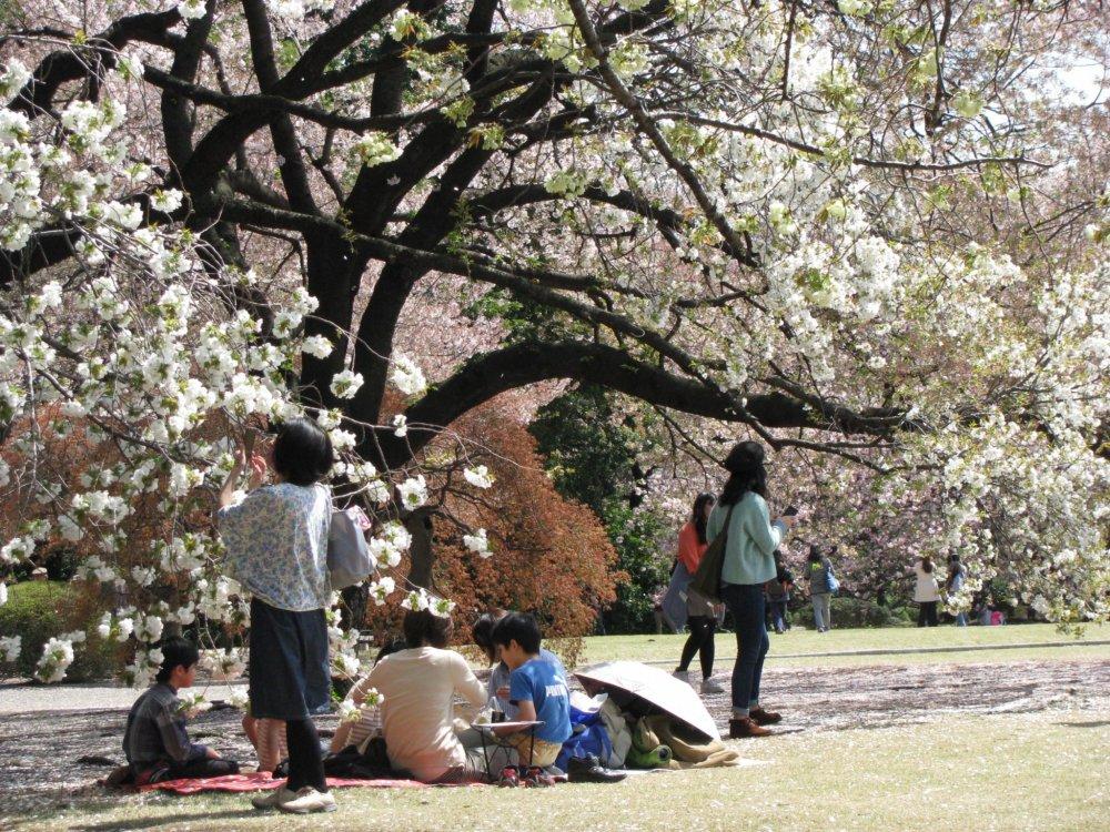 Piknik di bawah sakura