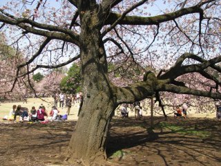 Batang pohon sakura yang anggun