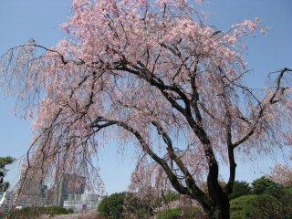 'Hujan' sakura