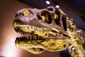 A replica skull of Sue, the largest and most complete Tyrannosaurus rex ever found