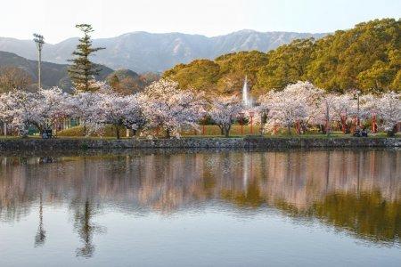 มวลดอกซากุระที่สวนโอะกิ
