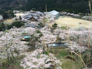 水上中学校の桜も満開