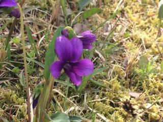 芝生の所々で春を発見