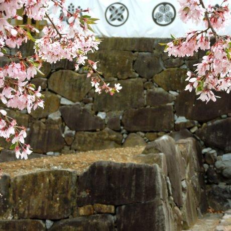 Cerisiers au Château de Kôfu