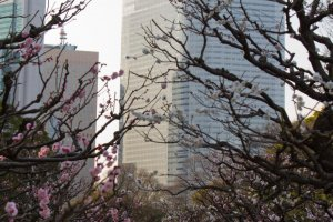 Particularly beautiful during the plum blossom season