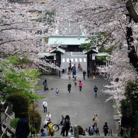 Flores de Cerejeira no Ikegami Honmon-ji
