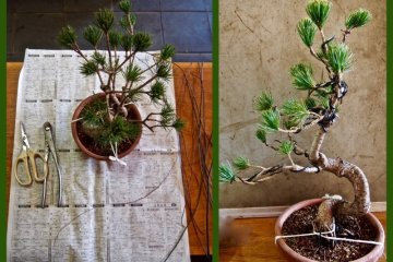 The taming of the bonsai