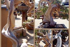 Heavily twisted bonsai