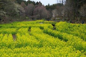 Yato Rape Weed Flower Field, Satoyama Garden