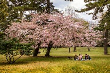 Musim Sakura di Taman Beppu