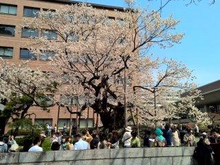 A national treasure, the Rock Splitting Cherry Tree in Morioka