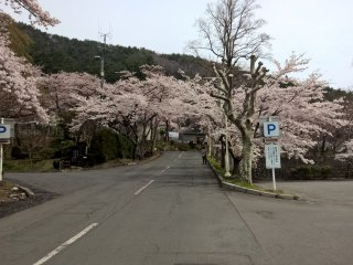 Cherry blossoms in frot of Hanamaki Onsen