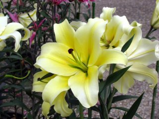 Wonderful lily flower