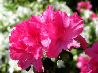 There were many beautiul azalea, too