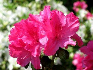 There were many beautiul azalea, too