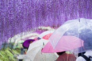 Inside the 110-meter-long wisteria tunnel of Kawachi Fuji-en
