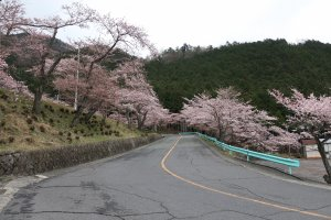 Cherry blossoms along the drive to the ropeway