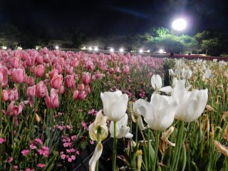 Tulip festival light up