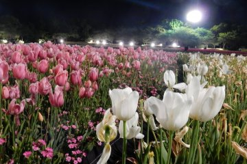 Tulip festival light up