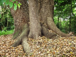 Strong tree trunk