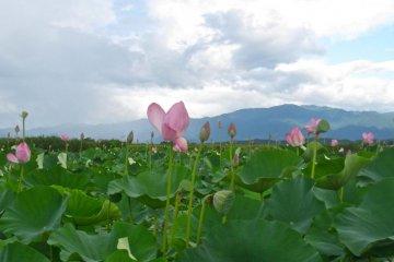 <p>ภาพระยะใกล้ของดอกฮัตซุ</p>