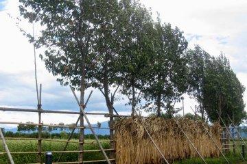 <p>หญ้าที่ตากบนรั้วไม้</p>
