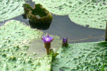 <p>ดอกไม้ที่ใกล้จะสูญพันธุ์ โอะนิบะสุ ทะเลสาบฟุกุชิมะ-กะตะเป็นสถานที่อยู่เหนือสุดที่ดอกไม้นี้จะเติบโต</p>
