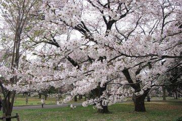 Jalan-Jalan di Tokyo: Taman Koganei