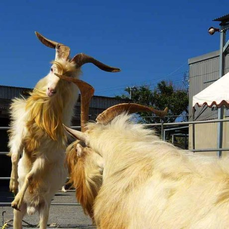 The Goat Fights at Sesoko Jima